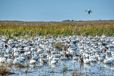 20190108_AnahuacNWR_Frozen_Point_Snow_Goose_750_9791ac-PS