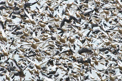 Snow Goose Panic Flight
