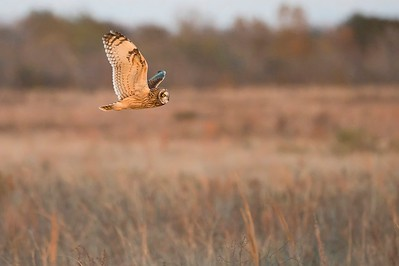 Wings Up:  Short-eared Owl