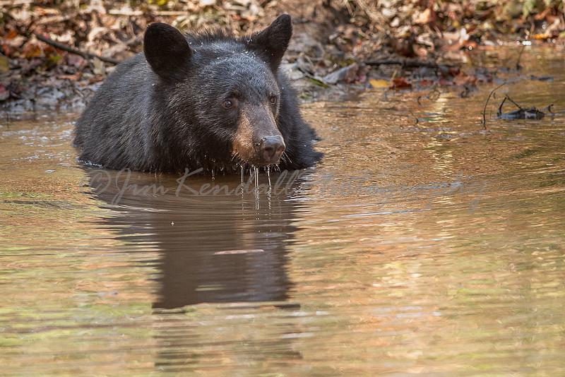 Bear in Golden Reflection