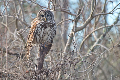 Who's Looking At You.....Barred Owl