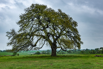 Tree in the Pasture