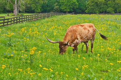 Longhorn in Wildflowers