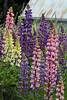The Many Colors of Lupines