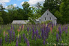 Grey House and Lupines