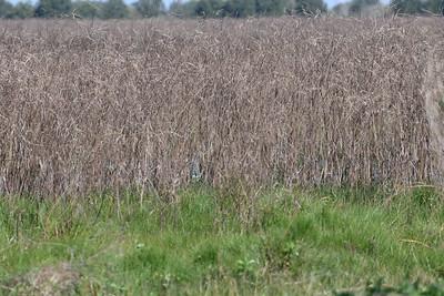 American Bittern Hiding in Reeds