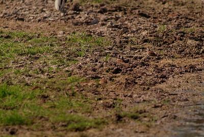3-Kildeer Vanish in the Ground