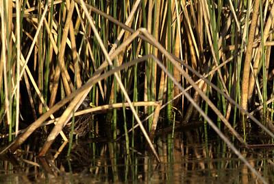 Sora in the Reeds