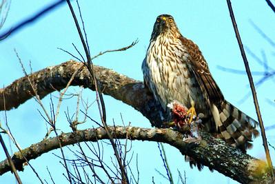 Cooper's Hawk with Prey (White-winged Dove)