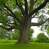 Iowa Tree - 01
