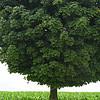 Lone tree in Iowa - 02