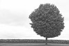 Lone tree in Iowa - 01 bw