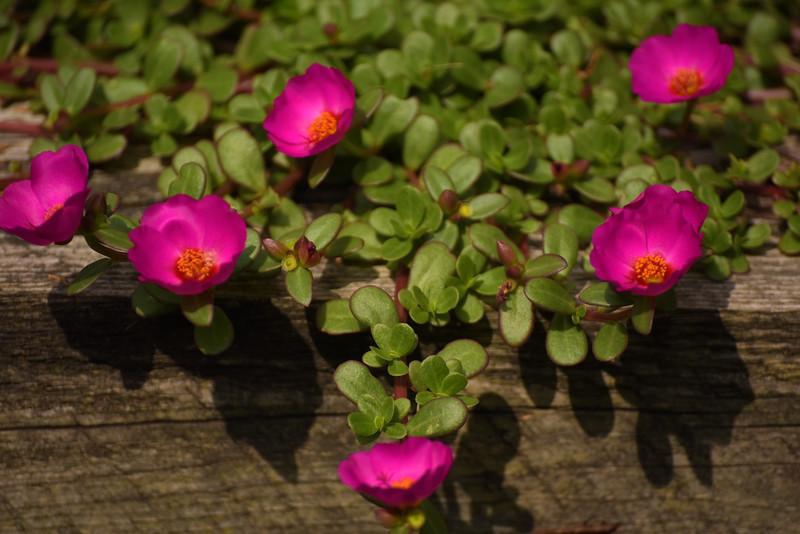 Moss Roses - 07