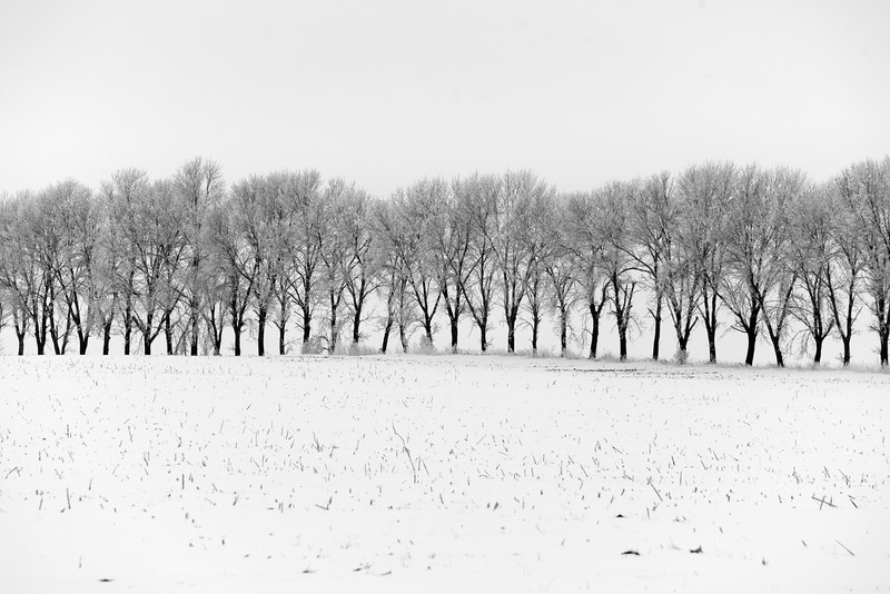 Tree row in the snow - 02
