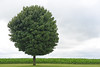 Lone tree in Iowa - 04