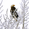 eagle in the snow - 03
