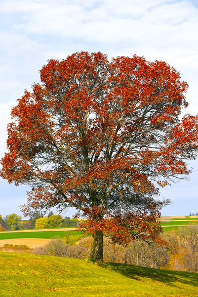 red oak - 01