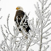 eagle in the snow - 01