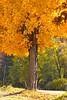 Golden maple - 02