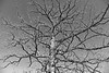 Branches bw