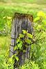 Grape Leaves fence