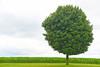 Lone tree in Iowa - 01