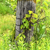 Grape Leaves fence - 02