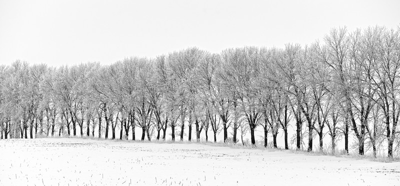 Tree row in the snow - 01
