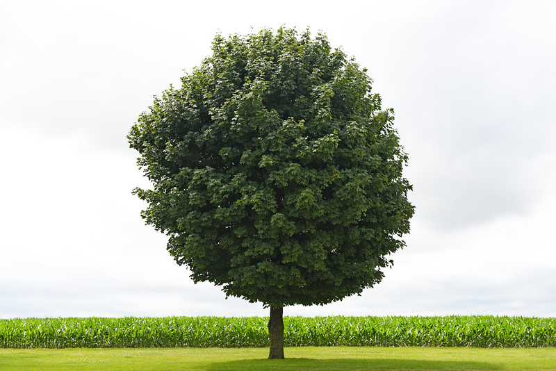Lone tree in Iowa - 03