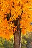 Golden maple - 01
