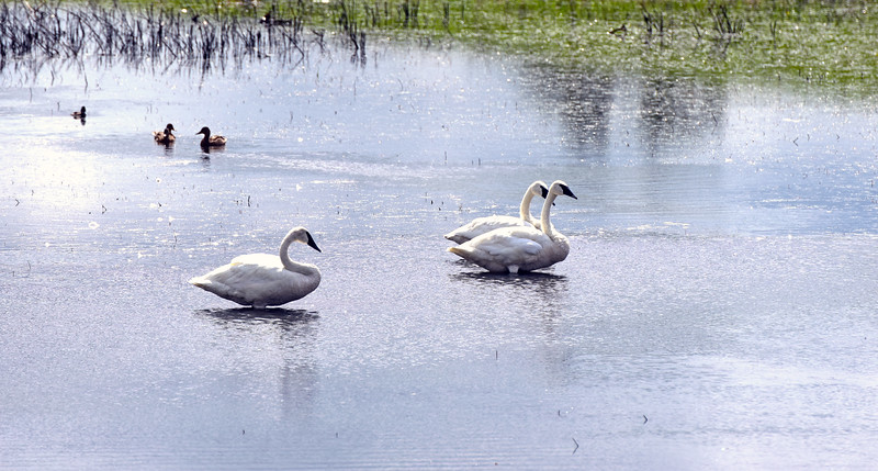 swans - 01