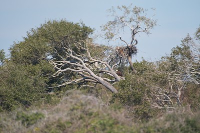 2 Bald Eagles & Nest, Aransas NWR