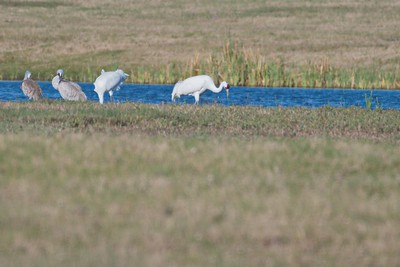 Pair of Whooping Cranes with Sandhill Cranes,  Goose Island State Park