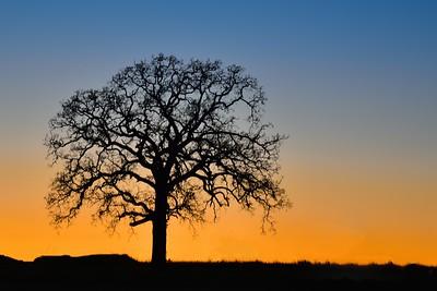 Oak Tree at Dusk