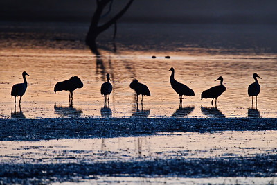 Sandhill Cranes at Bosque del Apache NWR