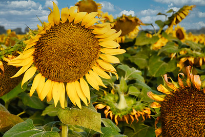 Up Close Sunflower