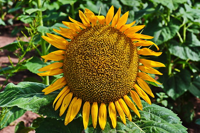 Up Close and Personal Sunflower