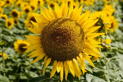 The Best of the Lot Sunflower