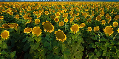 Sunflowers at Attention