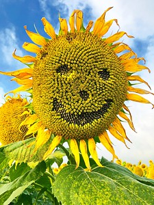 Happy Face Sunflower