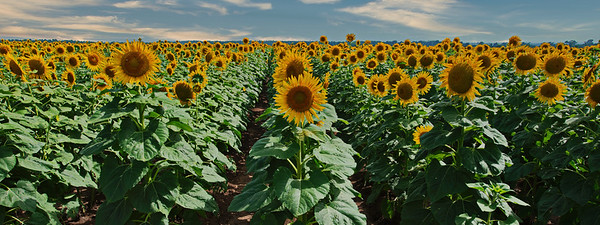 Pano of the Best of the Lot of Sunflowers