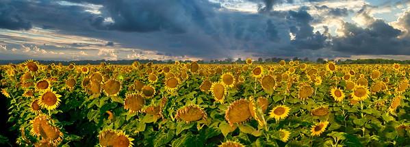 Beautiful Sunrise Sunflowers