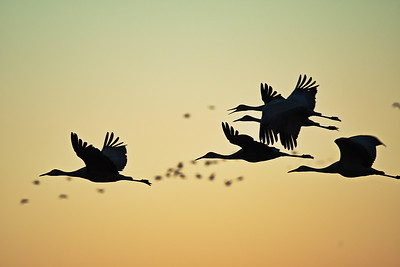 20181108_Bosque_del_Apache_NWR_4-Sandhill_Cranes_Flying_Dawn_500_2456