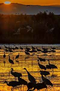 20181106_Bosque_del_Apache_Tuesday_morning_Sunrise_Cranes_Water_Flying_500_1105
