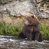 Coastal Brown Bear | Brooks River | Alaska