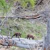Bear cubs playing on log