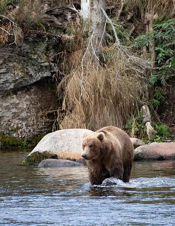 Coastal Brown Bear   Brooks River   Alaska