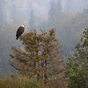 Bald Eagle | Katmai National Park | Alaska