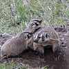 Badger and cubs