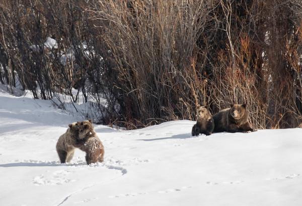 #399 and cubs - Grand Teton NP | Wyoming